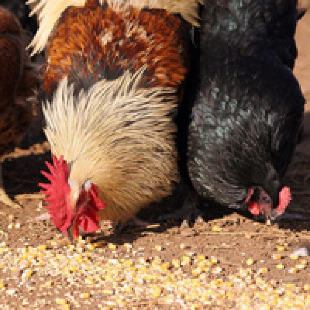 Как повысить яйценоскость кур без особых затрат 73
